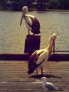 pelicans-laurieton