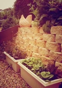 garden-2014-lettuce