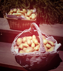 garden-2014-potatoes