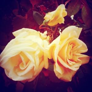 garden-autumn-roses
