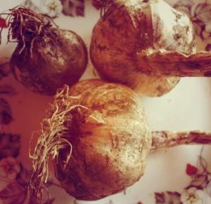 garden-garlic